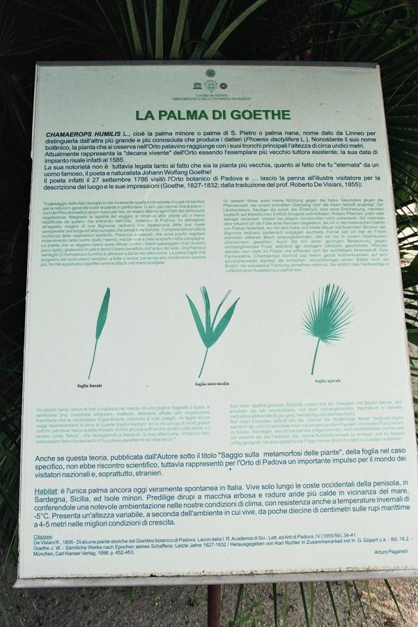 Zwergpalme \'Goethe palm\' in der Orto Botanico dell ...