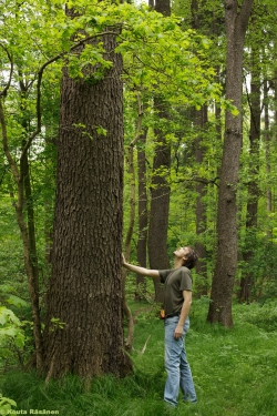 Photos Of Black Alder Trees Alnus Glutinosa Monumentaltreescom