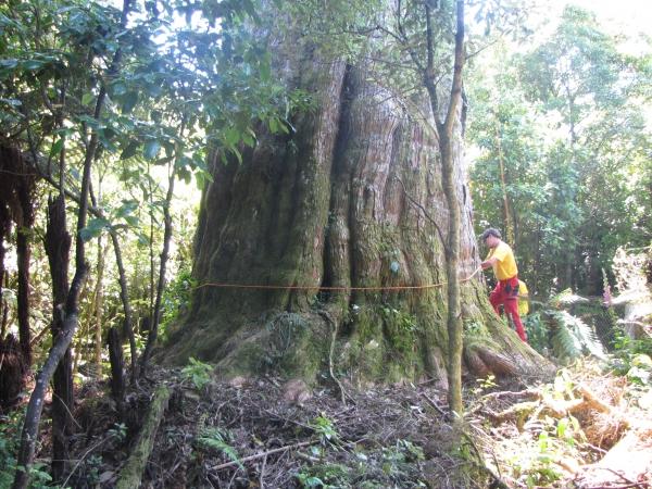 Totara Tree New Zealand Southern Island