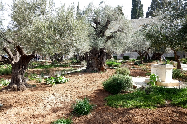 Olive Trees In The Garden Of Gethsemane In Jerusalem Jerusalem Israel