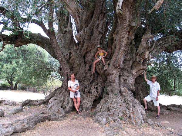 olivenbaum 39 olivastro di luras 39 in der n he der santu baltolu luras sardinien italien. Black Bedroom Furniture Sets. Home Design Ideas