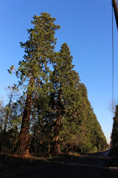 Giant Sequoia Across From Wellingtonia Avenue In
