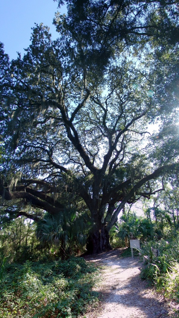Southern Live Oak Close To The Entrance Of Lake Griffin