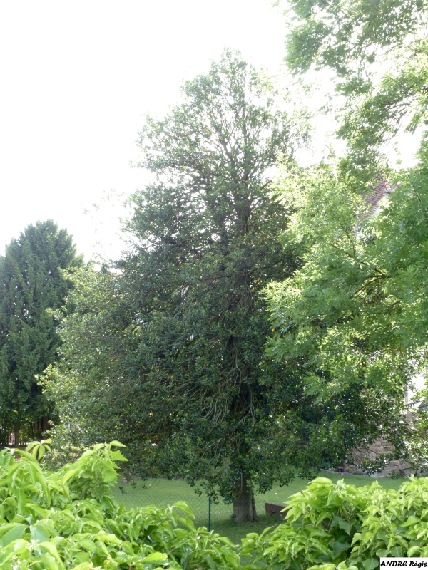 Good European Holly In The Jardin Prive Duune Maison Le