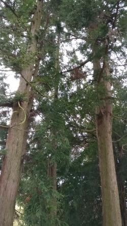 Bilder von japanische sicheltannen cryptomeria japonica - Japanische garten deutschland ...