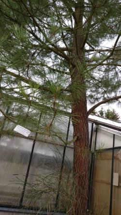Photos Of Maritime Pines Pinus Pinaster Monumentaltreescom