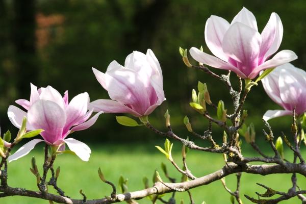 tulpen magnolie schlosspark wiesenburg brandenburg deutschland. Black Bedroom Furniture Sets. Home Design Ideas