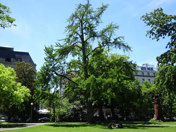 Ginkgo In Jardin Anglais Geneve Ginevra Switzerland