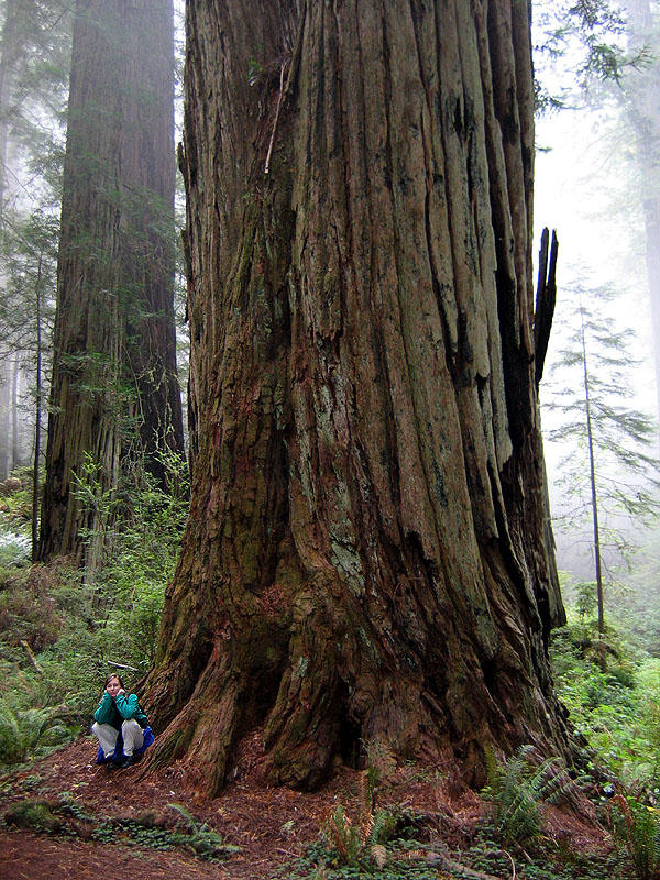 Tallest tree in the world: coast redwood