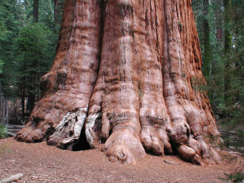 General Sherman, the biggest tree in the world